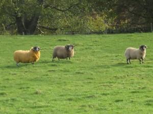 Schottland Schafe